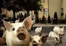 свиньи бегут