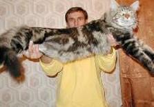 кот очень большой