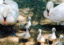 лебеди харьковский зоопарк