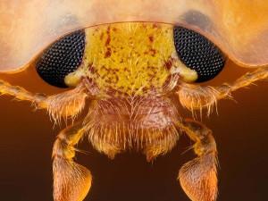 Глаза оранжевой божьей коровки.